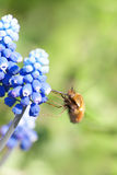 Little fly collects nectar Stock Photography