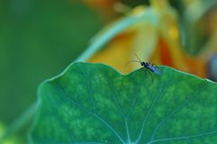 Little fly insect beetle on a green leaf in a natural habitat. Macro photography. Desktop wallpapers, ecology, agriculture. Fly. Insect pest leaf plant. Natural stock images