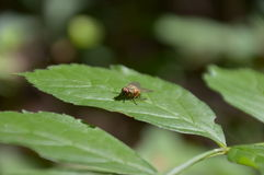 Little fly Royalty Free Stock Photos