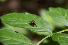 Little fly Royalty Free Stock Photo