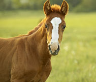 Little foal Royalty Free Stock Image