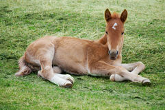 Little foal Royalty Free Stock Images