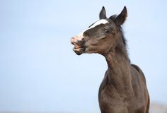 Little foal Stock Photography