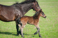 Free Little Foal Royalty Free Stock Photography - 24545547