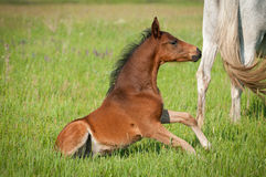 Little foal Stock Photos
