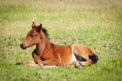 Free Little Foal Royalty Free Stock Image - 25340996