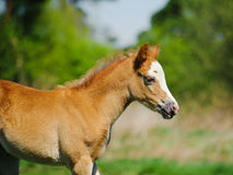 Little foal Royalty Free Stock Photography