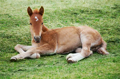 Little foal Stock Image