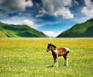Little foal Royalty Free Stock Photo