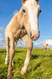 A little foal. A cute foal walks towards the camera Stock Image