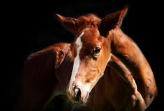 Little  foal at the dark background Royalty Free Stock Images