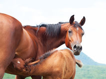 Little foal eating  mom. close up. Little foal eating  mom.  close up.  cloudy day Stock Photography