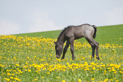 Little foal in field. Closeup Stock Images