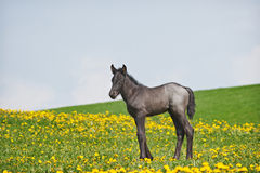 Little foal in field Stock Images
