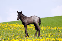 Little foal in field Royalty Free Stock Photos