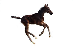A little foal galloping Stock Images