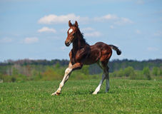 Little  foal gallops on the green meadow Royalty Free Stock Photography
