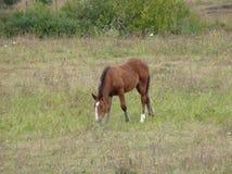 Little foal grazing in the meadow royalty free stock photo