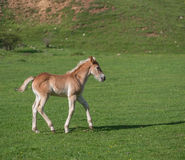 Little foal on a green grass field with flowers. A light brown foal on a green grass field with flowers, in the mountains Stock Photo