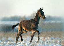 Little foal has fun in snow Stock Image
