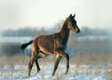 Little foal has fun in snow Stock Image
