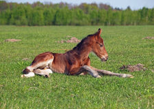A little  foal has a rest Royalty Free Stock Image