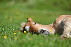 Little foal having a rest in the green grass with flowers stock photos