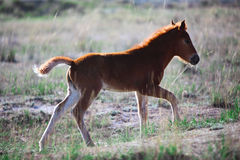 Foal on a summer pasture Royalty Free Stock Image
