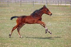 Little  foal hurries on the green meadow Stock Photos