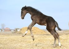 Little foal is jumping Stock Photos