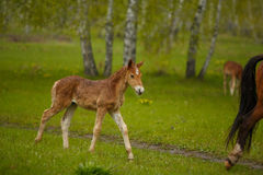 The little foal in the meadow Stock Images