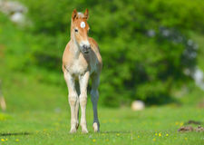 Little foal in the meadow Stock Photos