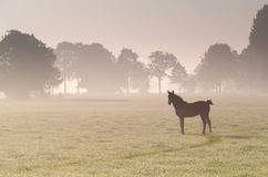 Little foal on misty sunrise pasture Royalty Free Stock Image
