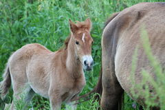 Little foal with mother Stock Images