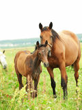 Little foal with mother in meadow Stock Photo