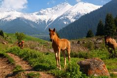 Little foal in mountains Stock Image
