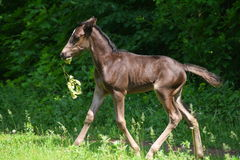 Little foal. Orlov trotter chewing flowers Stock Images