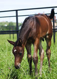 Little foal in paddock Stock Photography
