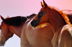 Little foal in paddock in evening. Portrait of two horses in paddock on sunset Stock Image