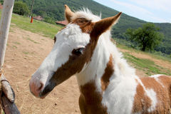 Little foal Royalty Free Stock Photos