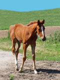 Little Foal Portrait Stock Photography