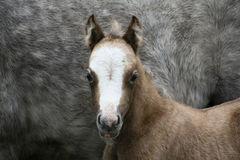 Little Foal Stock Image