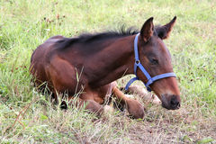 Little foal resting on grass Stock Photography