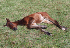 Little foal rests on green grass Stock Photo