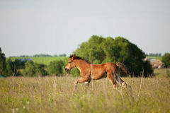 Little foal running on the field Royalty Free Stock Image