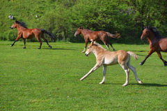 Little foal running on a green grass field with flowers and other horses Royalty Free Stock Image
