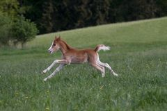 Little foal running on pasture Royalty Free Stock Photography