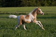 Little foal running on pasture Royalty Free Stock Photo