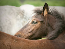 little  foal scratching oneself Stock Photography