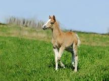 Little foal in summer field Stock Image